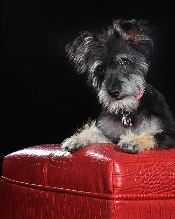 black terrier mix on red ottoman, studio dog photography