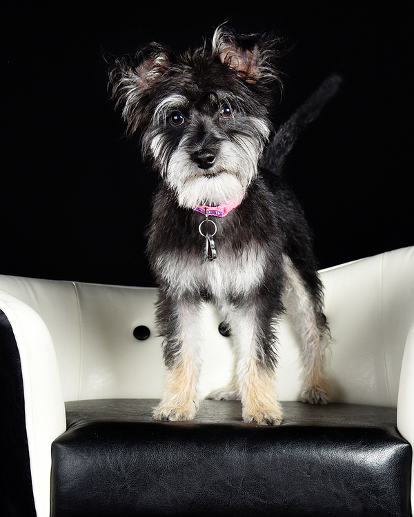 black, white terrier mix standing on white and black furniture, studio pet photography