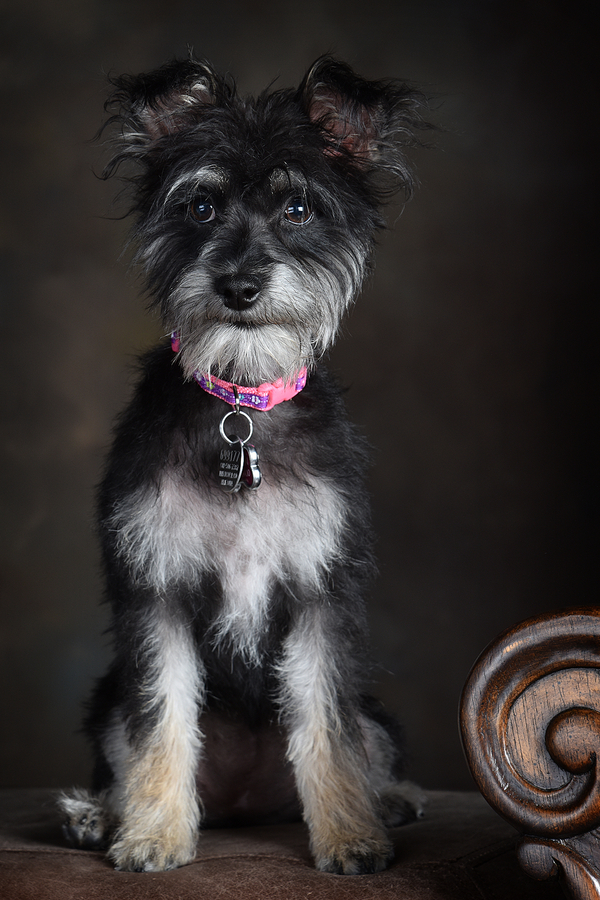 black, white, tan terrier mix in studio, small dog wearing pink collar