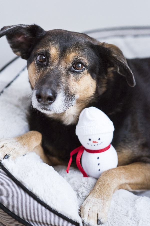 sweet senior mutt with snowman dog toy made from sock, tennis ball, #PAWsomeGifts #ClausAndPaws