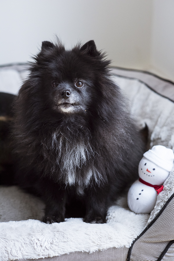 black fluffy Pomeranian sitting in bed with snowman toy, #PAWsomeGifts #ClausAndPaws