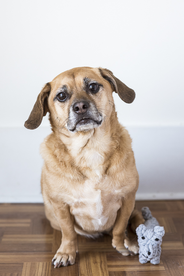 cute Puggle mix, aging dog, lifestyle dog photography