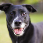 lab-terrier-mix-national-mutt-day