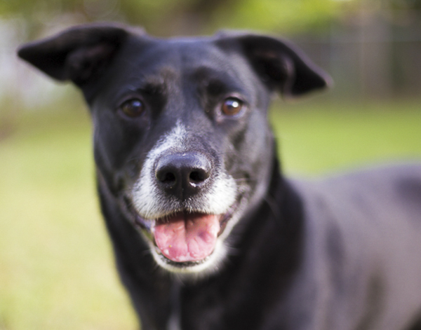 Happy Tails:  Nina the Lab/Terrier Mixed Breed