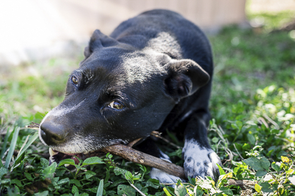 black and white mutt chewing on stick outside, on location pet photography