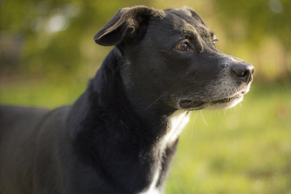 lab-terrier-mix-national-mutt-day-3