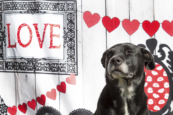 black terrier-lab mix in front of Love backdrop, red hearts