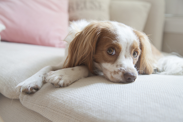 red and white spaniel lying on sofa, dogs on furniture lifestyle-dog-photography