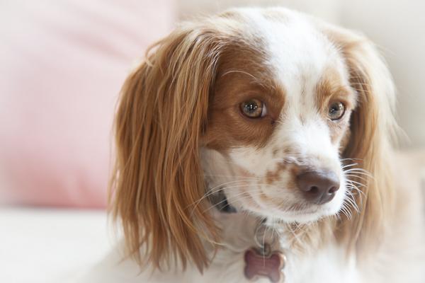 sweet spaniel close up, lifestyle dog photos