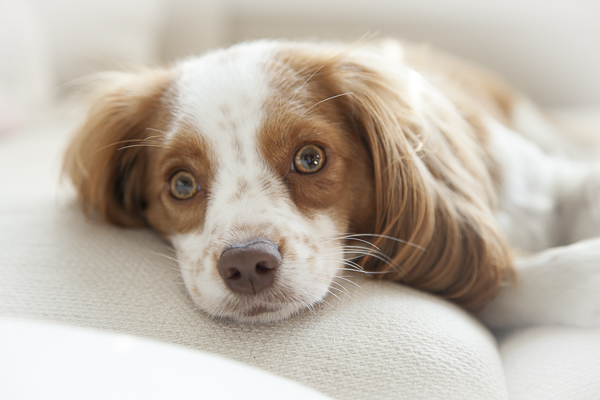 adorable spaniel lifestyle-dog-portraits