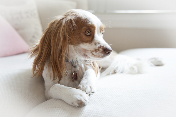 red and white spaniel lying on sofa, dogs on furniture lifestyle-dog-portraits