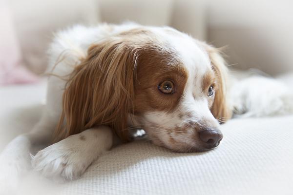 spaniel complatating, lifestyle-dog-portraits