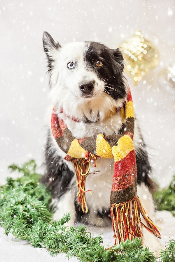 Border Collie in scarf, Christmas studio portraits Toronto-dog-photographer-sit-with-me-rescue, Pawsh Magazine