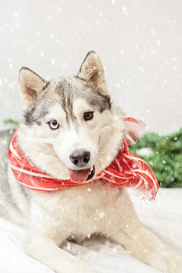Happy Husky holiday photo, toronto-dog-photographer-sit-with-me-rescue, Pawsh Magazine