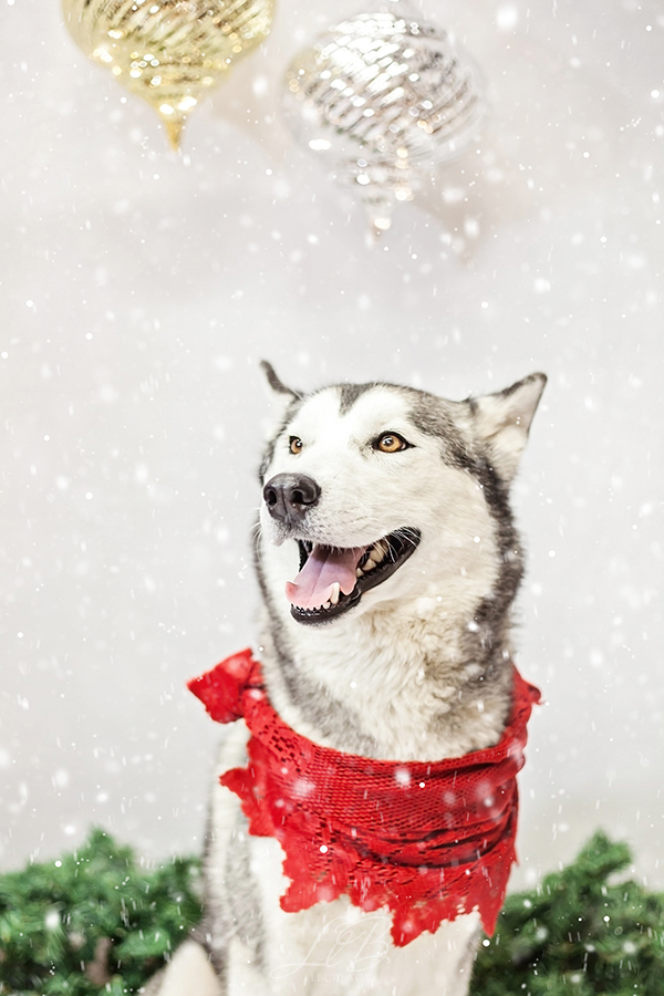 Holiday dog portraits, Husky wearing red shawl, toronto-dog-photographer-sit-with-me-rescue-4866