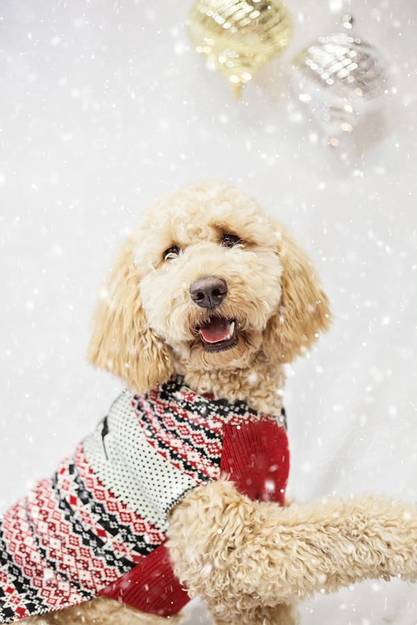 Doodle wearing Christmas sweater, toronto-dog-photographer-sit-with-me-rescue-4880, Pawsh Magazine