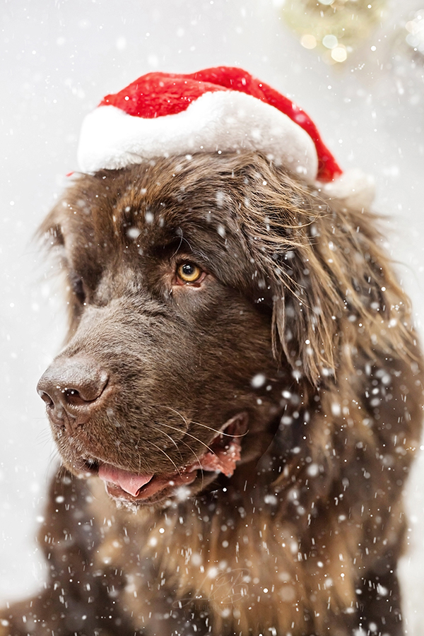 brown Newfie in Santa hat, dog studio portraits, toronto-dog-photographer-sit-with-me-rescue