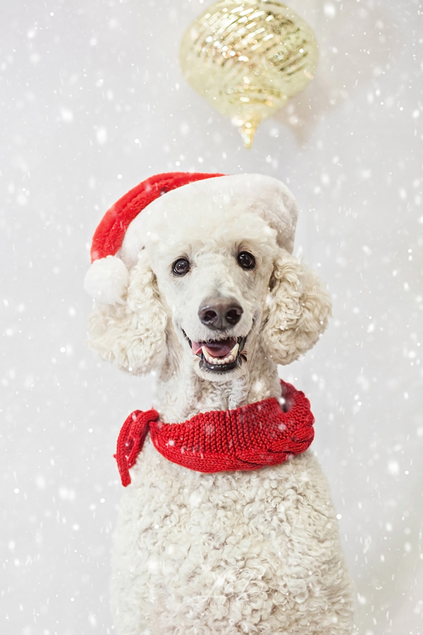 White Poodle in Santa Hat and scarf, Toronto-dog-photographer-sit-with-me-rescue-5055