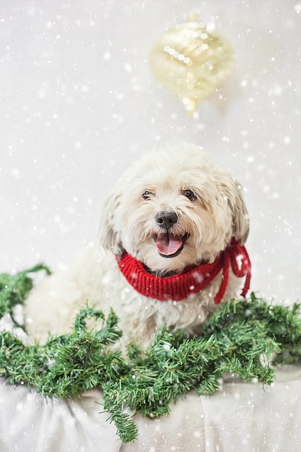 Spotlight:  Pawsh Magazine |  Holiday Dogs