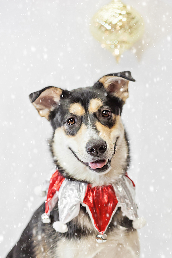 Holiday dog portraits, toronto-dog-photographer-sit-with-me-rescue-5113