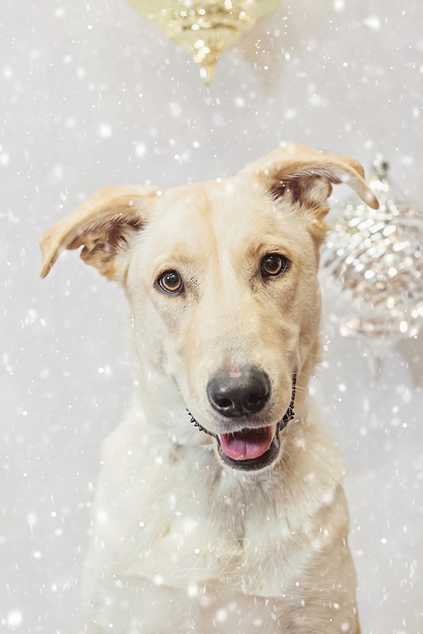 gorgeous dog, winter holiday backdrop, toronto-dog-photographer-sit-with-me-rescue