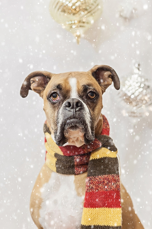 sophisticated Boxer in holiday scarf, Toronto