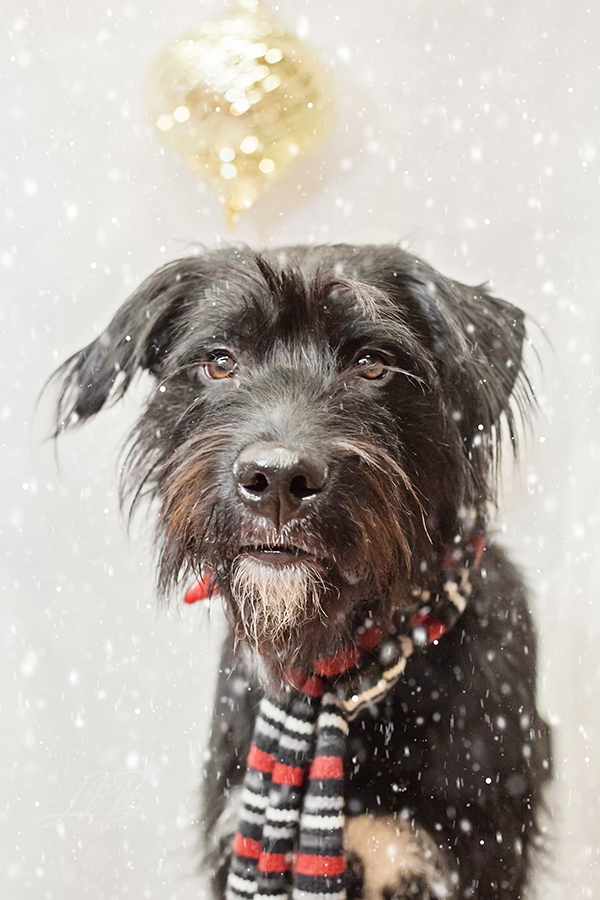 ©Pawsh Magazine, LLB Creative-fundraiser for Sit With Me Rescue, handsome dog in scarf, holiday photos, toronto-dog-photographer-sit-with-me-rescue