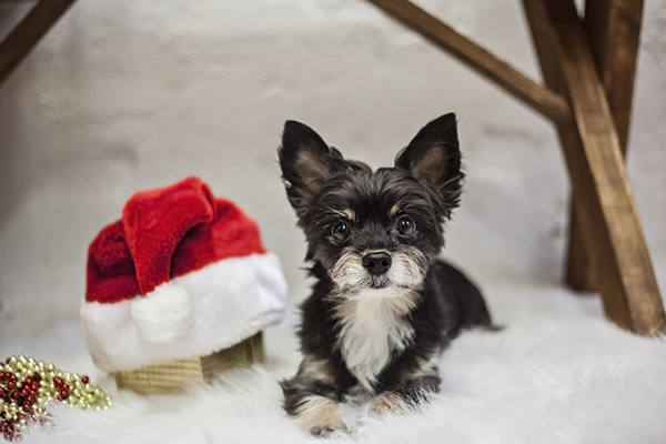 small dog with Santa hat, Santa visited!
