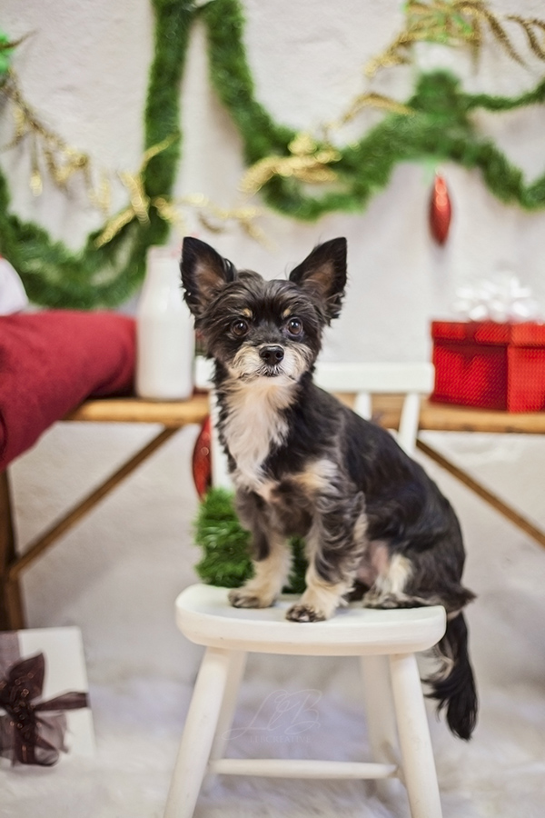 small terrier on white stool, holiday portraits View More: http://llbcreative.pass.us/mowgliholidayminisession