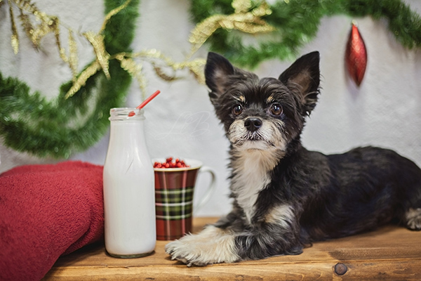 dog looking for Santa, waiting for Santa View More: http://llbcreative.pass.us/mowgliholidayminisession