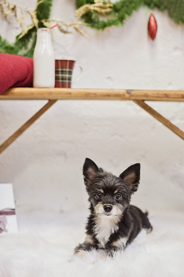 dog waiting for Santa View More: http://llbcreative.pass.us/mowgliholidayminisession