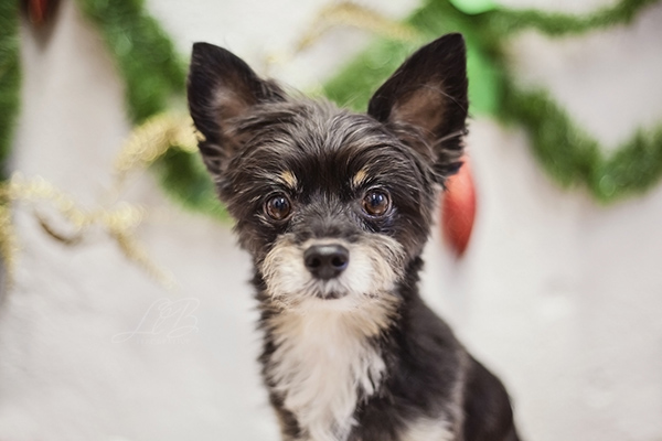 small terrier mix waiting for Santa, View More: http://llbcreative.pass.us/mowgliholidayminisession