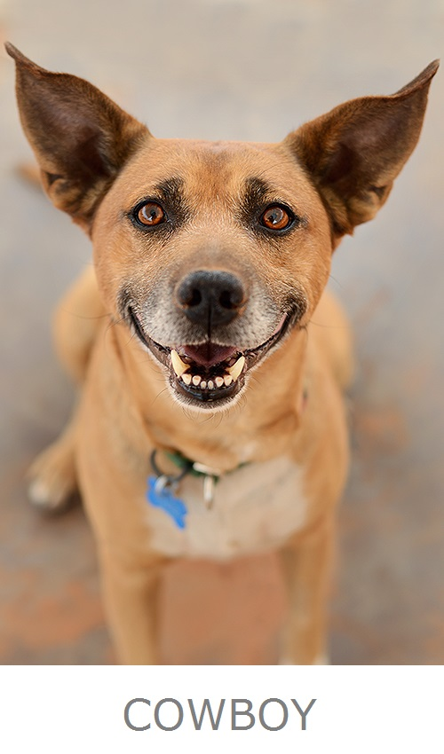 Cowboy-Adoptable senior from Best Friends,brown dog, big ears, happy smile