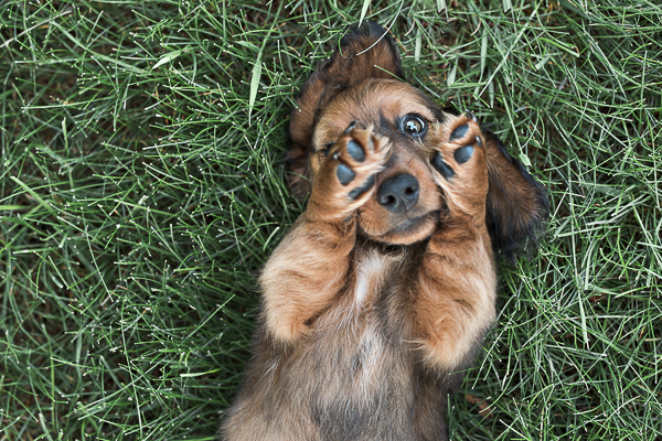Dachshund puppy lying on back, cute Doxie puppy covering one eye,