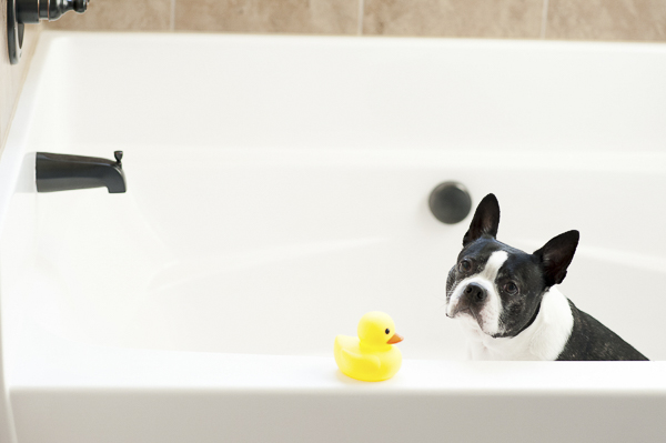 Boston Terrier sitting in tub, yellow rubber duck