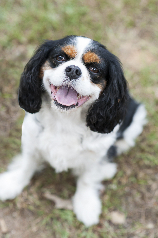 adorable Black King Charles Cavalier, happy pup sitting on grass