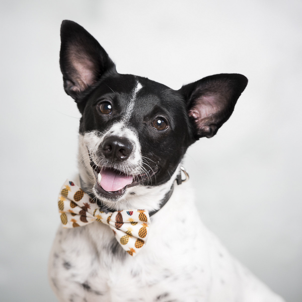 Henry-The Broke Dog, rat terrier wearing pineapple bow tie, happy dog, Pets By Petra