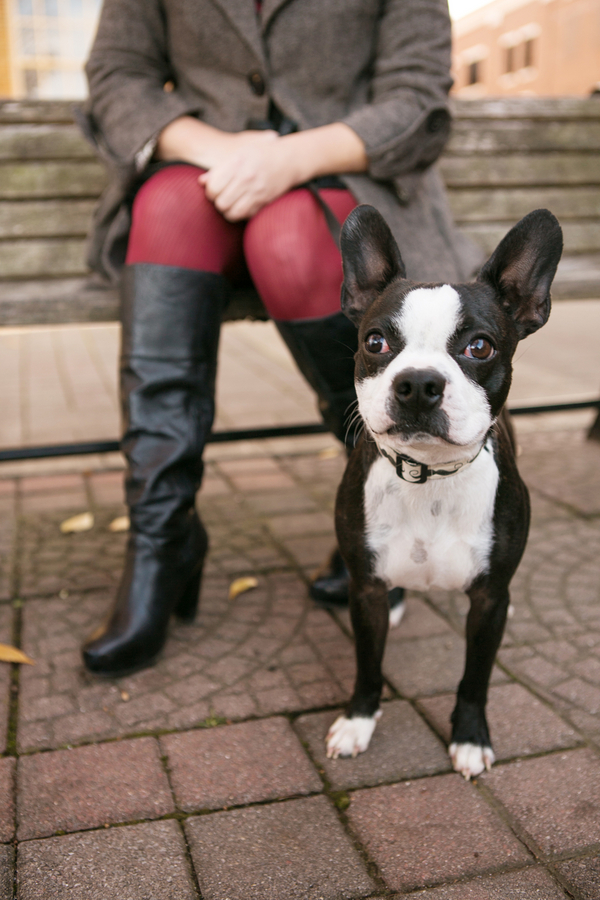 Happy Tails:  Monroe the Boston Terrier