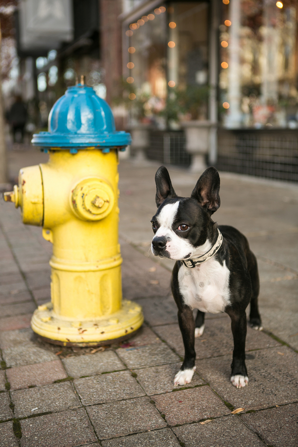 Boston Terrier and yellow fire hydrant, Mandy Whitley Photography