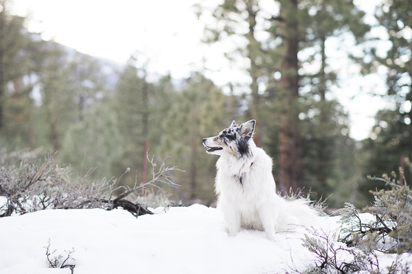long haired dog sitting in snowy forest