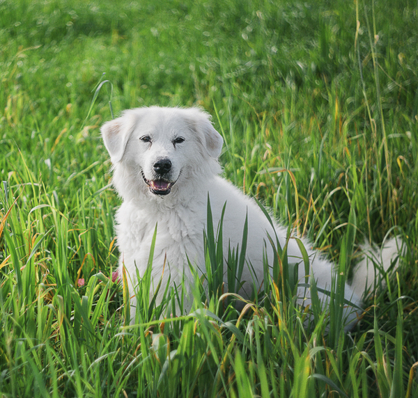 Great Pyrenees mix in tall grass