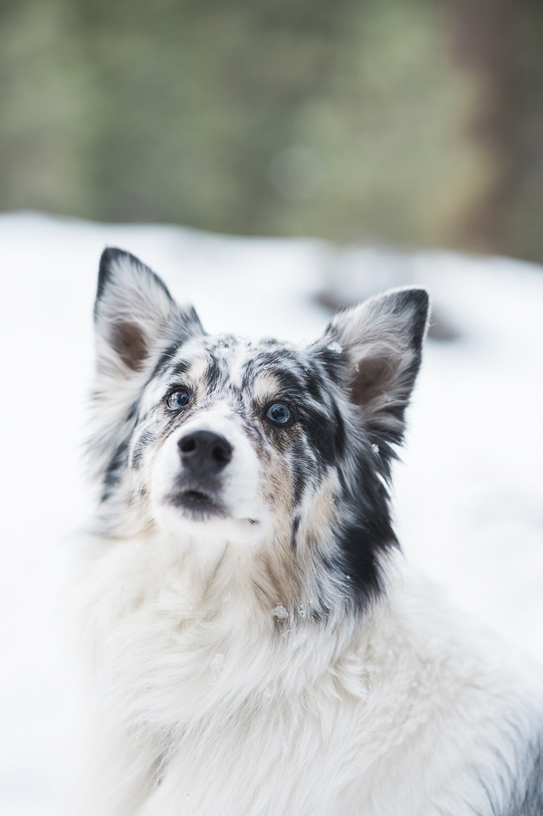 beautiful blue eyed Aussie in snow, winter dog portraits