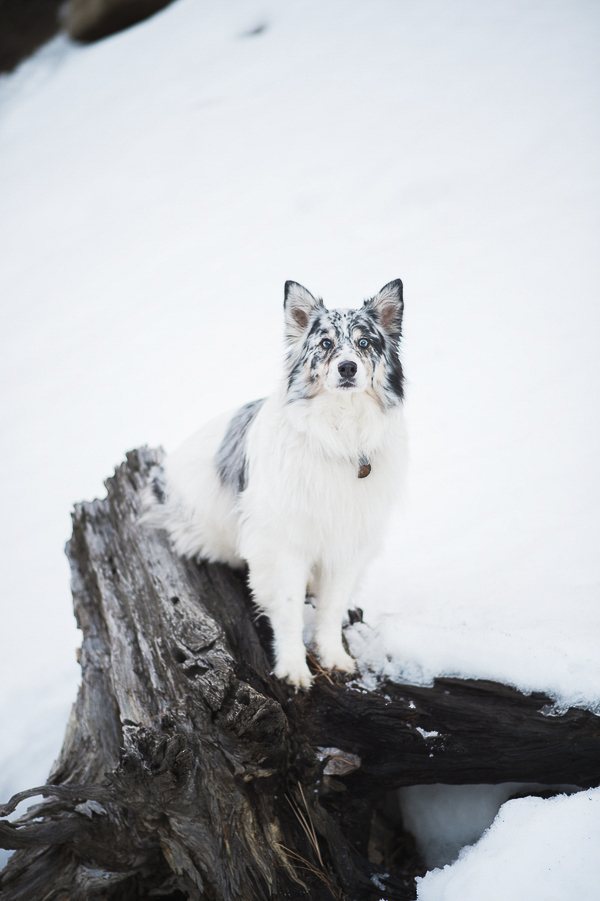 Australian Shepherd standing on rotted stump, snow, gorgeous dog portraits