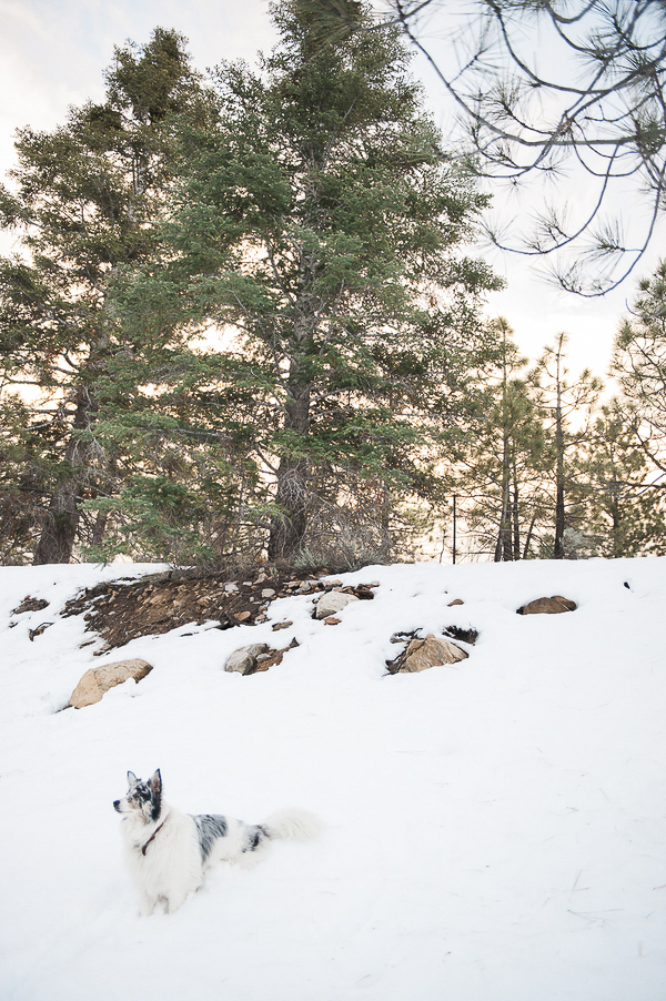 Australian Shepherd sitting on snow covered hillside