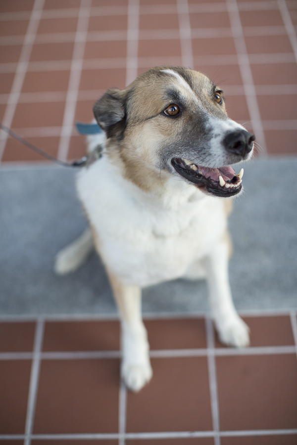 white brown short haired Shepherd, Collie, Husky mix