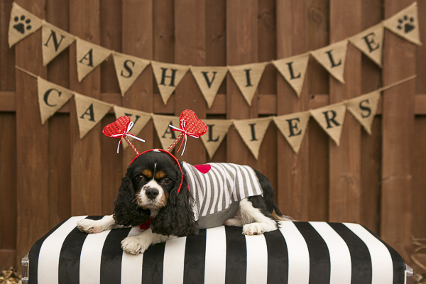 dog wearing gray striped sweater and heart headband lying on pillow, Nashville Cavaliers