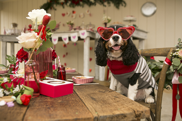 Cavalier wearing red heart glasses sitting at Valentine's Day table, Caventine's Day Pawty