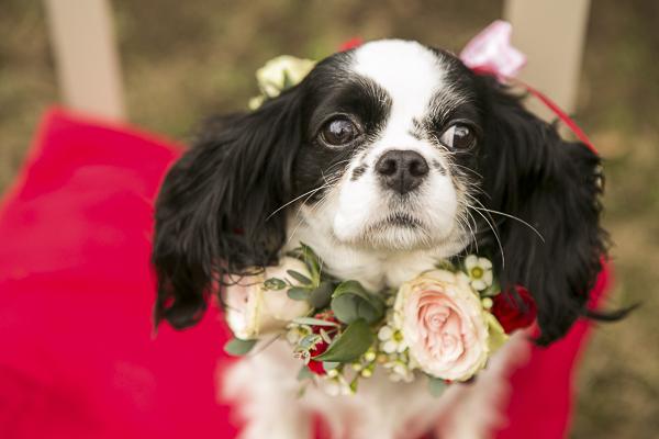 beautiful black white King Charles Cavalier Spaniel wearing floral collar