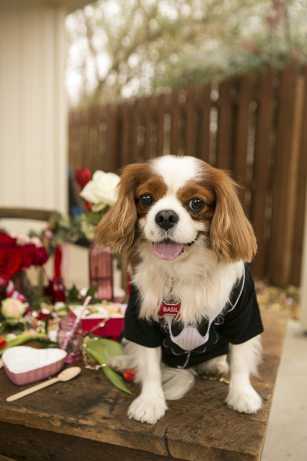 handsome brown and white Cavalier wearing tux, Valentine's Day Party for dogs, Caventine's Day Pawty