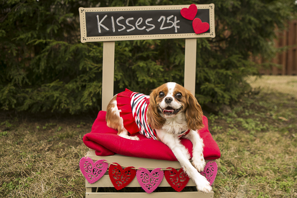 brown white Cavalier at kissing booth, Caventine's Day Pawty